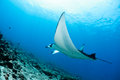 Manta ray in indian ocean maldives north male atoll Royalty Free Stock Photo
