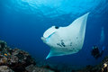 Manta ray in indian ocean maldives north male atoll Royalty Free Stock Photography
