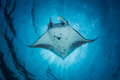 Manta Ray - Manta Alfredi Royalty Free Stock Photo