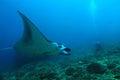 Manta Ray over Reef Royalty Free Stock Photo
