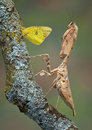Mantis and butterfly Stock Photography