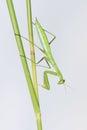 Mantis the close up of a nymph scientific name paratenodera sinensis Royalty Free Stock Photos