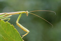 Mantis the close up of scientific name tenodera sinensis Royalty Free Stock Photography