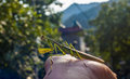 A mantis on the hand wild Royalty Free Stock Images