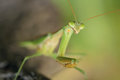 Mantis the head close up of scientific name tenodera sinensis Stock Photos