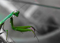 Mantis a little cought with some drops after a rainy night Royalty Free Stock Image