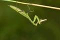 Mantis and locust