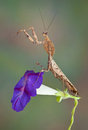 Mantis on Morning Glory Royalty Free Stock Image
