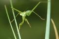 Mantis nymph the on grass scientific name tenodera sinensis Royalty Free Stock Photo