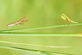 Mantis nymph two nymphs are facing each other on grass scientific name tenodera sinensis Royalty Free Stock Photography