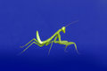 preying mantis isolated on blue background Royalty Free Stock Photo