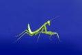 preying mantis isolated on blue background Royalty Free Stock Photo