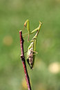 Mantis praying on twig in front of green background Stock Photos