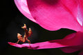 Mantis and siam tulips Royalty Free Stock Photography