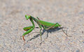 Mantis on the street green asphalt Stock Images