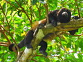 Mantled Howler Monkey Stock Image
