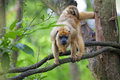 Mantled howler monkey with child hanging from a tree Stock Images