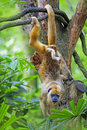 Mantled howler monkey with child hanging from a tree Stock Image