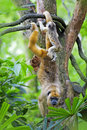 Mantled howler monkey with child hanging from a tree Royalty Free Stock Photo