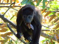 Mantled howler monkey this is the second animal in the world with the most strongly call Royalty Free Stock Images