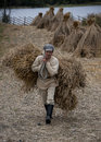 Manual harvesting of wheat on small farm in northern russia kizhi circa september manually bundled stalks are stacked together the Royalty Free Stock Images