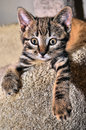 Manx cat kitten close up image Royalty Free Stock Image