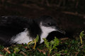 Manx shearwater at night a on the ground on skokholm island pembrokeshire Royalty Free Stock Photos