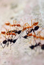 Many ants are walking on timber in macro style Royalty Free Stock Photography