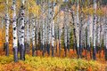 Many Aspen trees in a forest during autumn time Royalty Free Stock Photo