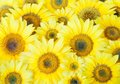 Many beautiful big sunflower background Royalty Free Stock Photos