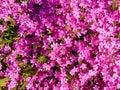 Many Beautiful Pink Flowers Ba...