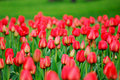 Many beautiful red tulips. Royalty Free Stock Photography