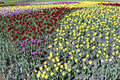 Many beautiful red, yellow and pink tulips in flower garden Royalty Free Stock Photo