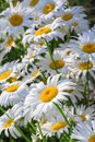 Many beautiful white camomiles at sunset Royalty Free Stock Photo