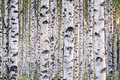 Many birch trees in the forest in the daytime Royalty Free Stock Photo