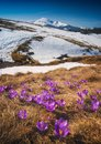 Many blooming crocuses on a meadow