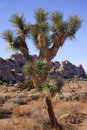 Many Branches Yucca Brevifolia Joshua Tree Stock Images