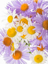 Many bright daisies Royalty Free Stock Photo