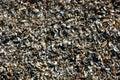 Many broken shells pile up on beach sand