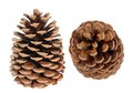 Many brown pine cones two isolated on white Royalty Free Stock Photo