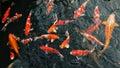 Many carp fishes Royalty Free Stock Photo