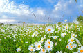 Many chamomile flowers over blue sky Royalty Free Stock Photo