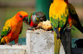 Many colorful parrot Royalty Free Stock Photo