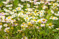 Many colors of daisies Royalty Free Stock Photo