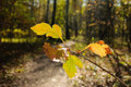 Many coloured autumn leaves on lone tree branch in a forest Royalty Free Stock Image