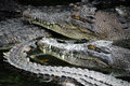 Many crocodiles miri malaysia november agglomeration of in the water in borneo next to the border between malaysia and brunei Stock Images