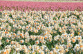 Many daffodils on spring field Royalty Free Stock Photo