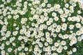 Many Daisies from an Overhead Perspective Royalty Free Stock Photo