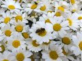 Many daisy flowers and a bee on a daisy Royalty Free Stock Photo