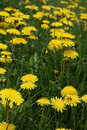 Many Dandelions, Taraxacum Royalty Free Stock Photo